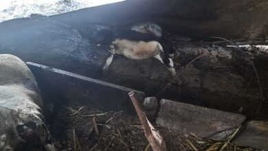 Photo of Cowshed Set On Fire, Three Cows Burnt Alive