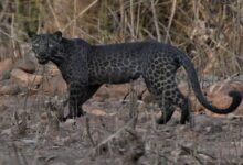 Photo of Leopard Spotted Again On Monday